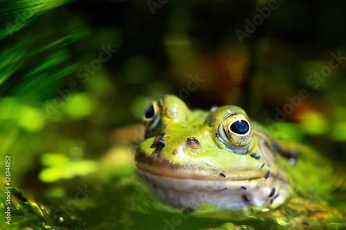 Poster zielona żaba jeziorkowa 4