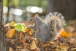 gray squirrel in the foreground eating peanut