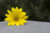 Yellow Gazania Flower Head