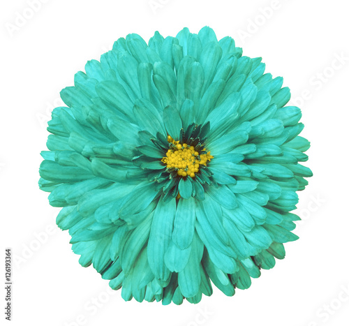 turquoise flower, white isolated background with clipping path. Closeup. no shadows. yellow center. Nature. Aster.