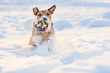 Dog with colorful toy ball running through deep snow