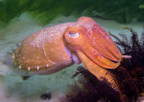 Cuttlefish side profile looking at camera