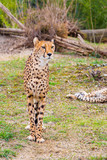 Beautiful Cheetah , Acinonyx jubatus  standing on green grass and looking at camera