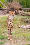 Beautiful Cheetah , Acinonyx jubatus  standing on green grass and looking at camera