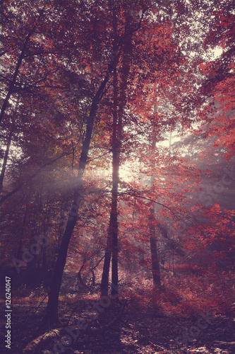 Foto op Canvas Crimson Beauty forest with sunrays in the morning