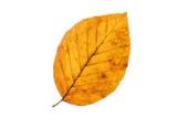 Buchenblatt mit Herbstfärbung, freisteller - 126242563