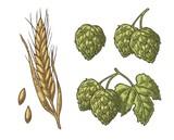 Set hop herb plants with leaf and Ear of barley. Vector vintage engraved illustration. - 126307548