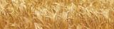 barley field background - 126324986