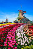 Fototapety Landscape with tulips in Zaanse Schans, Netherlands, Europe