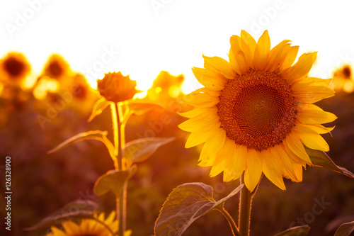 Fototapeta sunflower at the evening field