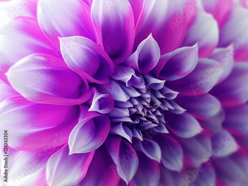 Tuinposter Purper dahlia flower, purple-blue-pink. Closeup. beautiful dahlia. side view flower, the far background is blurred, for design. Nature.
