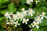 Clematis (Greisenbart), Blüten, Homöopathie, Bachblüten, Klet