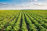Green field of potato crops in a row - 126414595