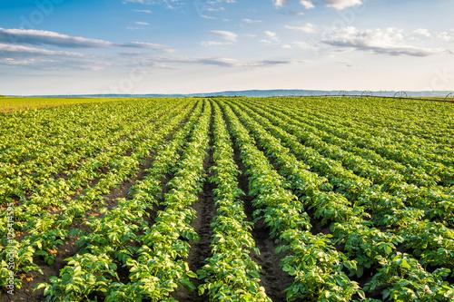 Zielone pole upraw ziemniaka z rzędu