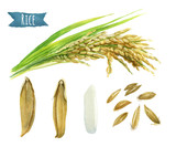 Rice  watercolor illustration set with clipping paths - 126433945