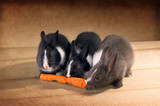 Three  Dutch rabbit dwarf eat carrots on  the floor