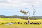Australian Cattle Farm