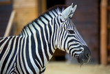 Zebra on the nature