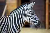 Zebra on the nature