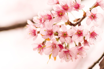 Pink cherry flower blossom in winter season,Chiangmai,northern of Thailand