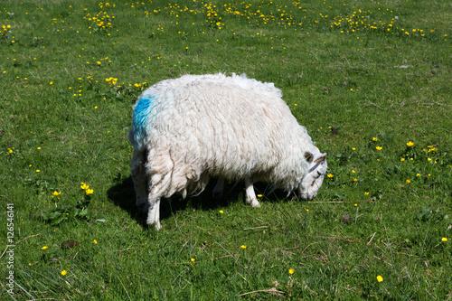 Blue marks on Scottish sheep Poster