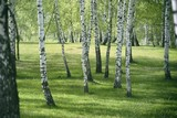 Birch forest. Birch Grove. White birch trunks.
