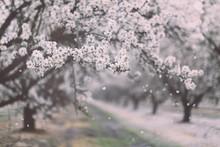 Almond verger floraison