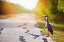 Bleu héron debout sur le côté de la route en attendant son tour