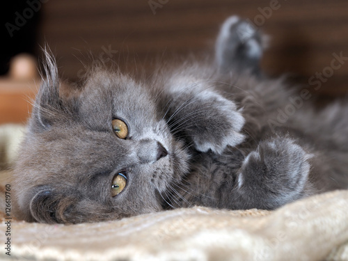 Poster Cute gray fluffy kitten with yellow eyes