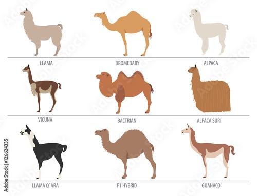 Fototapeta Camel, llama, guanaco, alpaca breeds icon set. Animal farming