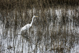 Egret, Chincoteague National Wildlife Refuge, Virginia, USA