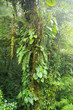 Misty rainforest in Monteverde cloud forest reserve