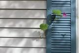 Purple flower vine growing on blue window shutter - 126696173