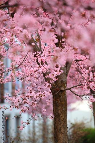 Poster Sakura flower