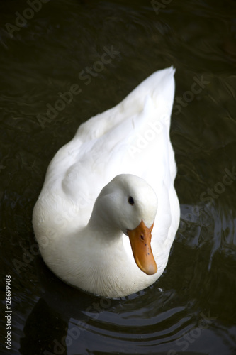 Poster White Duck