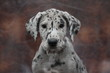 Great Dane puppy head shot