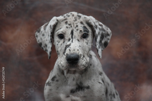 Poszter Great Dane puppy head shot