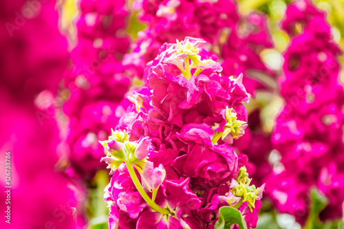Fotobehang Roze beautiful garden flowers, fresh colorful flowers
