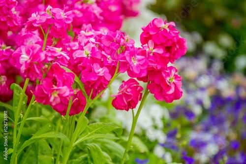 Plexiglas Roze beautiful garden flowers, fresh colorful flowers