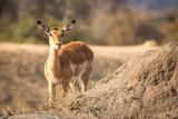 Impala starring at the camera.