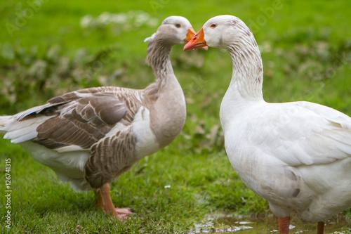 Poster goose outdoor portrait