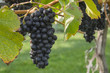 Pinot Noir Grapes in Vineyard Okanagan Kelowna British Columbia Canada