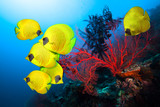Underwater image of coral reef and School of Masked Butterfly Fish  - 126760974