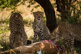 Cheetah family enjoy their catch of the day