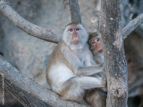 Poszter Macaque monkeys in the jungle of Sam Roi Yot National Park south of Hua Hin in T