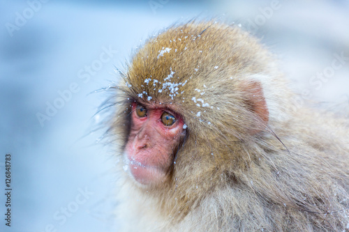 Poster, Tablou Snow monkey Macaque Onsen