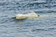 Beluga breach