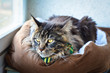 Cat Maine Coon in a Green Tie Butterfly