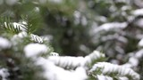 Close-up of christmas tree branches with snow, snowing in botanic garden