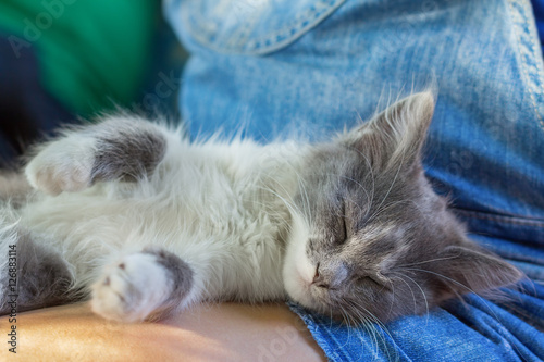 Fotografiet Gray kitten resting